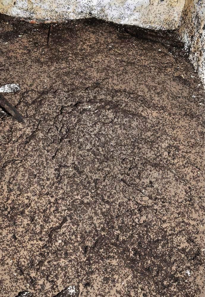 Обнаружены муравьи, которым не нужны пища и свет (3 фото)