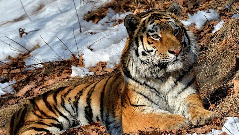 Странный тигр поставил ученых в тупик