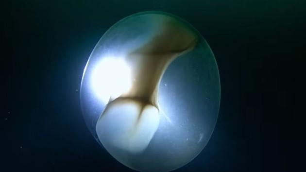 """Гигантское яйцо засняли дайверы в Северном Ледовитом океане"""" />"""
