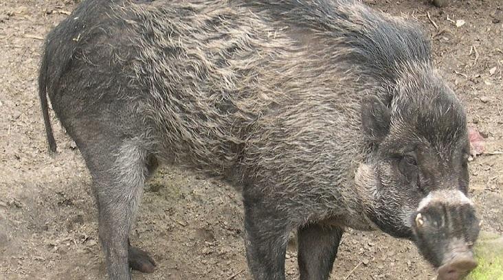 Во Франции свиньи начали использовать орудия труда, чтобы копать ямы (ВИДЕО)