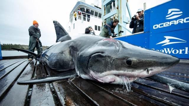 Американцы выловили гигантскую акулу, пострадавшую от более крупного монстра