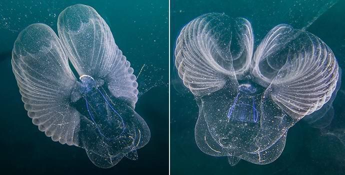 Океанологи поймали редчайшее загадочное существо