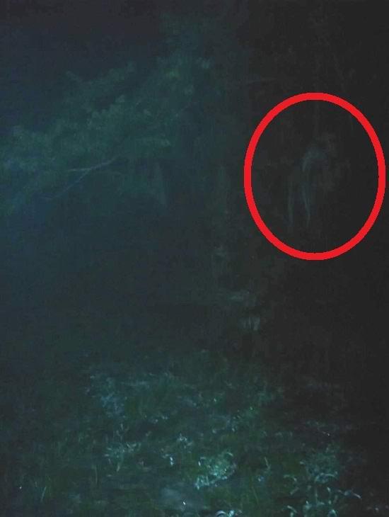 Мифическая скунсовая обезьяна снова попала в объектив фотокамеры