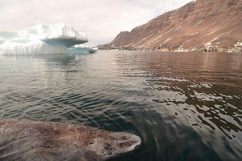 Ученые нашли акулу, которая живет уже более пятисот лет