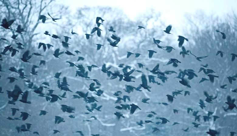 Стая ворон кружила вокруг НЛО в Калифорнии
