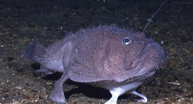 Странную рыбу с ногами обнаружили исследователи